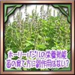 ホーリーバジル(トゥルシー)の栄養効能!苗の育て方に副作用はない?